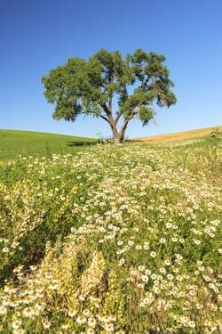 Oak Tree Near Field of Oxeye Daisies and Wheat, Palouse, Washington by Stuart Westmorland