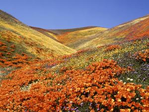 Owl's Clover, California Poppies, Coreopsis, Antelope Valley, California by Stuart Westmorland