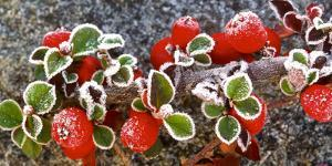 Panoramic image of frost on red berries. by Stuart Westmorland