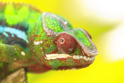 Panther Chameleon, Madagascar, Africa by Stuart Westmorland