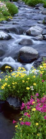 Pink Monkey-Flower, Buttercups, Mt. Rainier National Park, Washington State by Stuart Westmorland