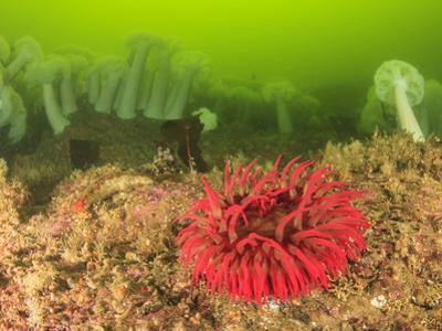 Plumose and Fish Eating Sea Anemones, Foggy Bay, Alaska, Inside Passage by Stuart Westmorland