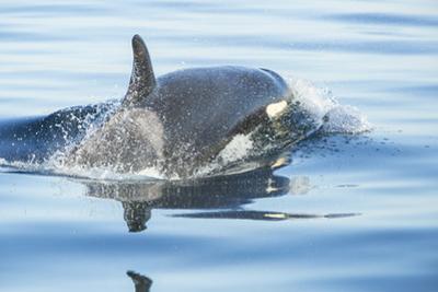 Pod of resident Orca Whales in Haro Strait near San Juan Island, Washington State, USA by Stuart Westmorland