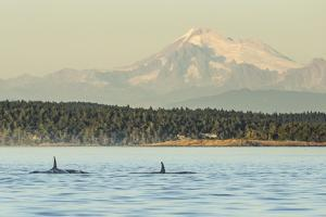 Pod of resident Orca Whales in Haro Strait near San Juan Island with Mt. Baker behind, Washington S by Stuart Westmorland