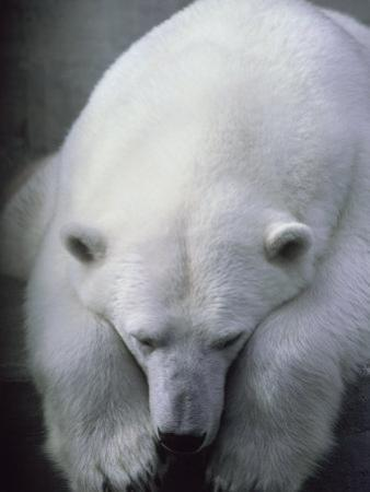Polar Bear Lying Down