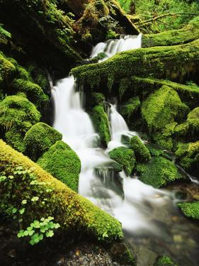 Quinalt Rainforest with Graves Creek Tributary, Olympic National Park, Washington State, USA by Stuart Westmorland