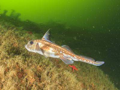 Ratfish, Hydrolagus colliei, Foggy Bay, Alaska, Inside Passage by Stuart Westmorland