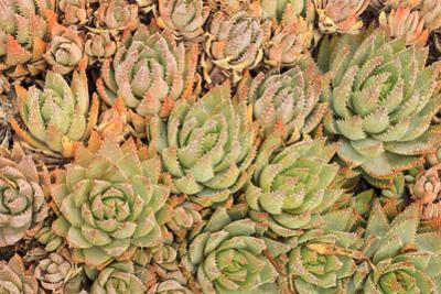 Red Aloe Succulent Plants, Old Town, San Diego, California by Stuart Westmorland