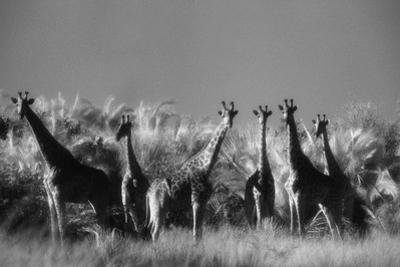 Reticulated Giraffe Standing in Forest by Stuart Westmorland