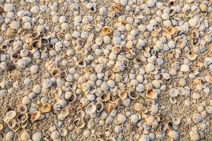 Sea Shells concentrated on beach. Mexico, Quintana Roo, Holbox Island. by Stuart Westmorland