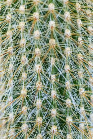 Silver Torch Cactus. Seattle, Washington State. by Stuart Westmorland
