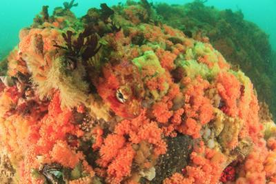 Soft corals, Alaska, Inside Passage by Stuart Westmorland