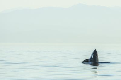 Spyhopping orca from Pod of resident Orca Whales in Haro Strait near San Juan Island, Washington St by Stuart Westmorland