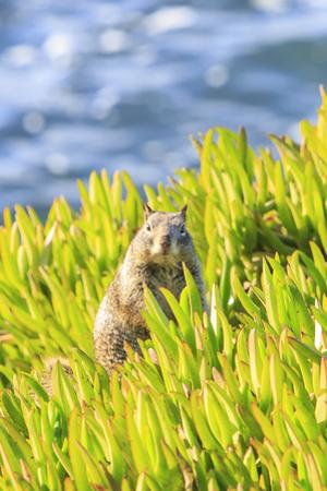 Squirrel in Ice Plants, La Jolla, San Diego, California by Stuart Westmorland