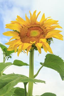 Sunflower, Community Garden, Moses Lake, Wa, USA by Stuart Westmorland