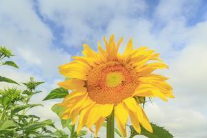 Sunflowers, Community Garden, Moses Lake, Wa, USA by Stuart Westmorland