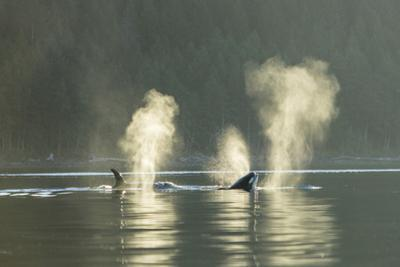 Transient Orca Killer Whales, Pacific Northwest by Stuart Westmorland