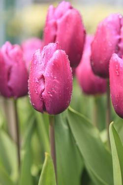 Tulips in a garden, Victoria, British Columbia, Canada by Stuart Westmorland