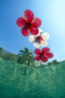 Underwater view looking up at floating hibiscus flowers in tropical water. by Stuart Westmorland