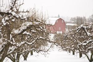 USA, Oregon, Hood River. Snow covered Apple Trees and Barn. by Stuart Westmorland