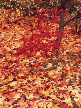 View of Autumn Japanese Maple Flora, Washington Park, Seattle, Washington, USA by Stuart Westmorland