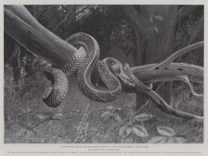 Studies from Life at the Zoological Gardens, South American Corais Snake