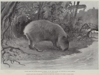 Studies from Life at the Zoological Gardens, the Capibara, or Carpincho, of South America