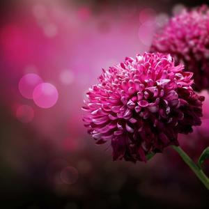 Dahlia Autumn Flower Design.With Copy-Space by Subbotina Anna