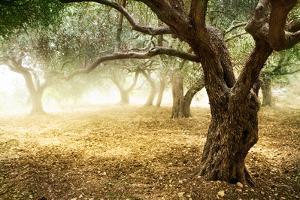 Olive Trees by Subbotina Anna