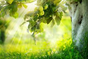 Orchard. Apple Trees. Growing Organic Apples by Subbotina Anna