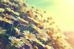 Spring Daisy Flowers Border. Beautiful Nature Scene with Blooming Chamomiles in Sun Flare. Sunny Da by Subbotina Anna