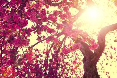 Spring Nature Background Blooming Tree over Sunny Sky. Spring Blossom. Apple Flowers. Sun Flare. Vi by Subbotina Anna