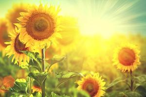 Sunflower Field. Beautiful Sunflowers Blooming on the Field. Growing Yellow Flowers by Subbotina Anna