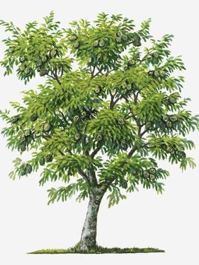 Illustration of Evergreen Annona Muricata (Soursop) Tree Bearing Green Fruit by Sue Oldfield