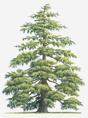 Illustration of Evergreen Cedrus Deodara (Deodar Cedar, Himalayan Cedar Tree by Sue Oldfield