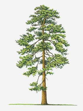Illustration of Evergreen Pinus Ponderosa (Ponderosa Pine) Tree by Sue Oldfield