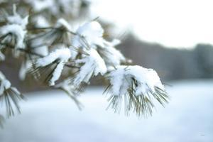 Frosted White Pine by Sue Schlabach