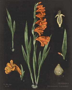 Gladiola Chart Crop by Sue Schlabach