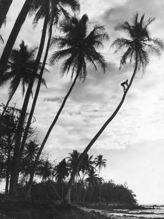 Palms on Hawaii, 1930s by Süddeutsche Zeitung Photo