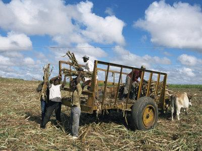 https://imgc.allpostersimages.com/img/posters/sugar-cane-harvest-south-coast-dominican-republic-west-indies-caribbean-central-america_u-L-P1TUC10.jpg?p=0