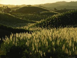 Sugarcane Field Near Likuri Harbor