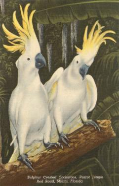 Sulphur-Crested Cockatoos, Miami, Florida