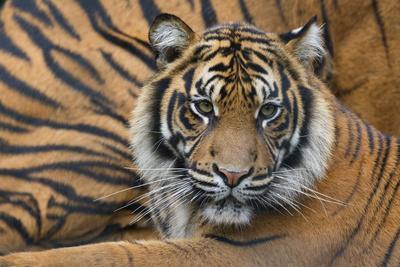https://imgc.allpostersimages.com/img/posters/sumatran-tiger-panthera-tigris-sumatrae-captive-occurs-in-sumatra-indonesia_u-L-Q13AB0T0.jpg?p=0
