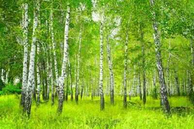 Summer Birchwood Forest