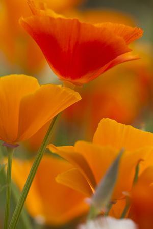 https://imgc.allpostersimages.com/img/posters/summer-mission-bell-poppies-in-full-bloom-seattle-washington-usa_u-L-PN72DQ0.jpg?p=0