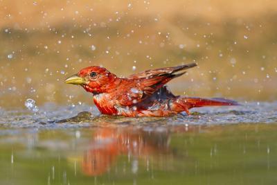 https://imgc.allpostersimages.com/img/posters/summer-tanager-piranga-rubra-male-bathing-texas-usa_u-L-PN6SGA0.jpg?p=0