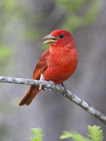 https://imgc.allpostersimages.com/img/posters/summer-tanager-texas-usa_u-L-PHAD260.jpg?p=0