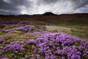 Summer Wildflowers in Iceland