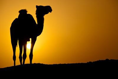 https://imgc.allpostersimages.com/img/posters/sun-going-down-in-a-hot-desert-silhouette-of-a-wild-camel-at-sunset_u-L-Q1038DL0.jpg?p=0