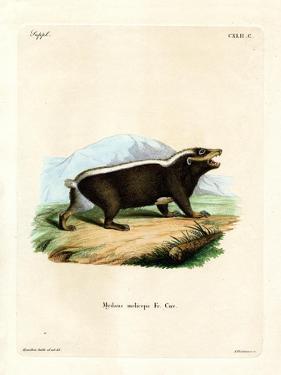 Sunda Stink Badger